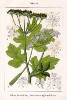 Echte Bärenklau - Heracleum sphondylium